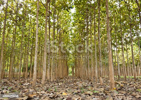 Teakbaum blatt  Teakbäume In Einem Landwirtschaftlichen Nördlich Von Thailand Stock ...