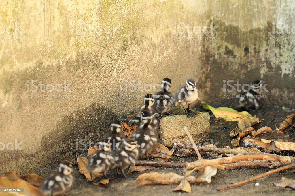 Teal Duck royalty-free stock photo