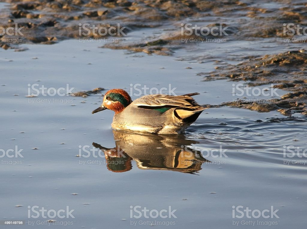 Teal Duck stock photo