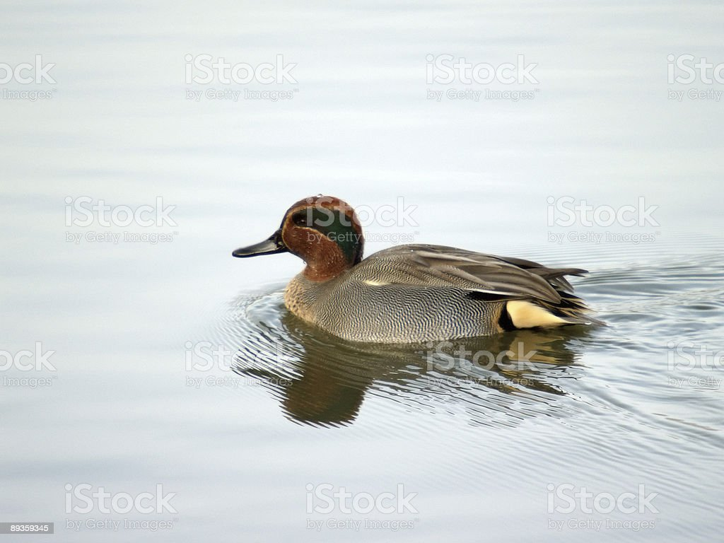Teal (Anas crecca) royalty free stockfoto