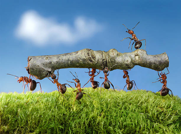 team of ants carry log with chief on it foto