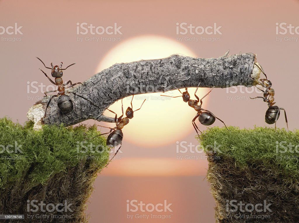 team of ants constructing bridge stock photo