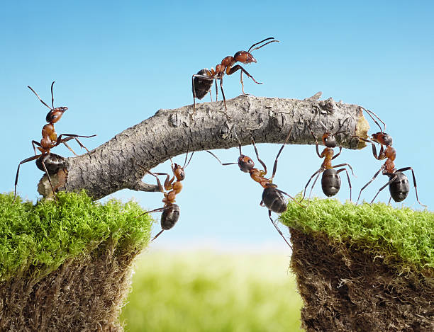 team of ants constructing bridge foto