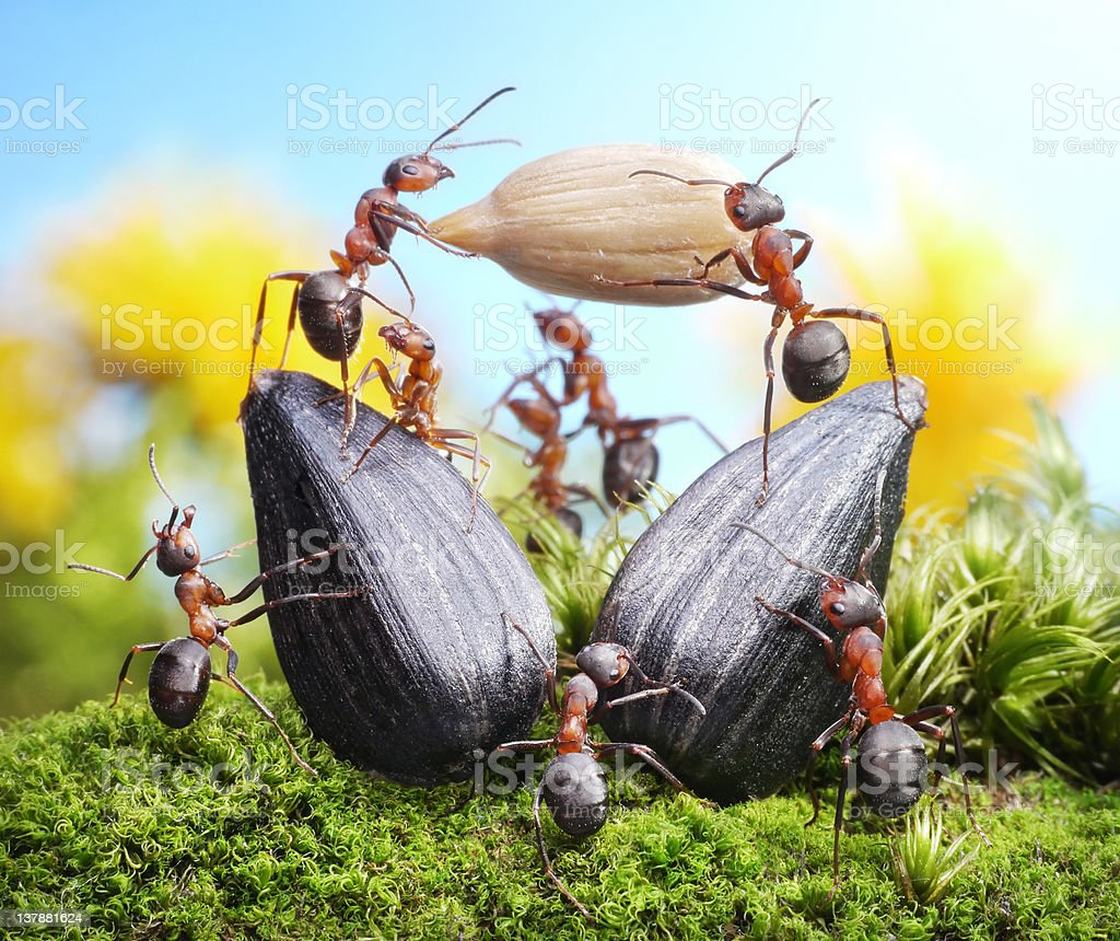 team of ants, harvest crops, sunflower seed - Royalty-free Agriculture Stock Photo
