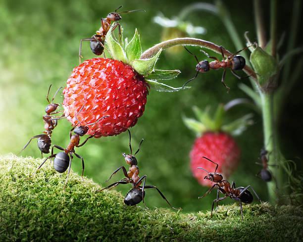 team von Ameisen pflücken wilden Erdbeeren – Foto