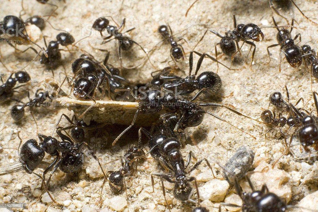Team of Ants stock photo