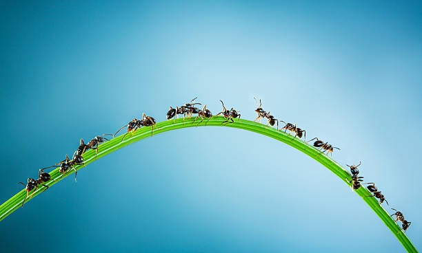 Team of ants. Team of ants running around the curved green blade of grass on a blue background ant stock pictures, royalty-free photos & images