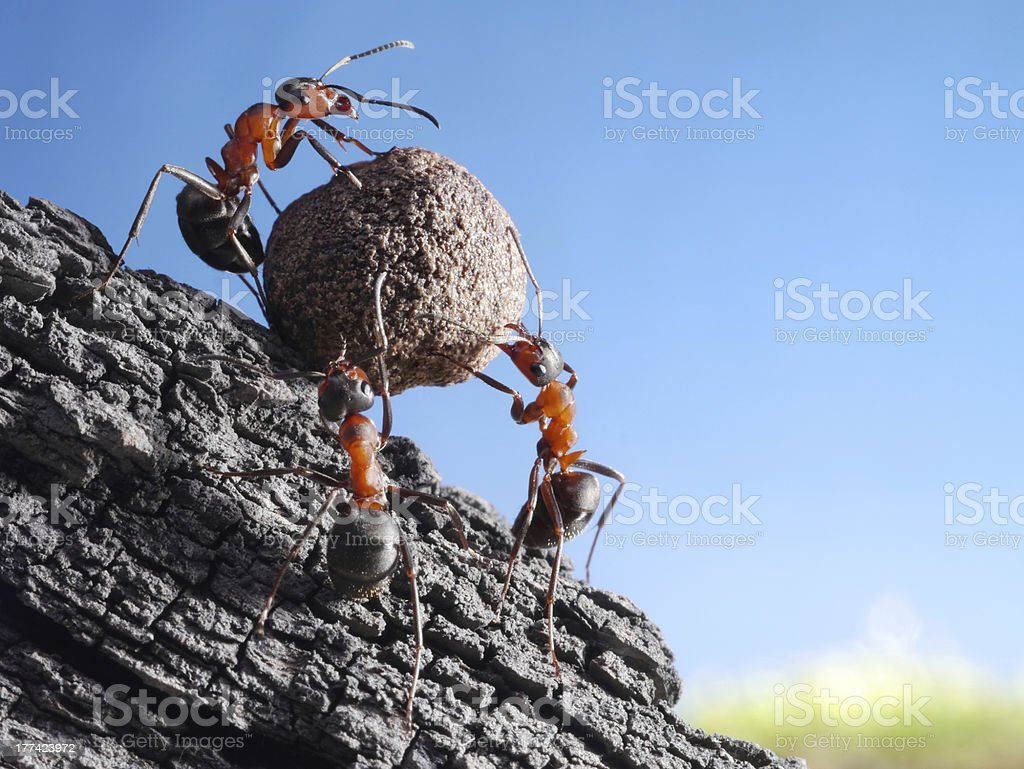 team of ants rolls stone uphill stock photo