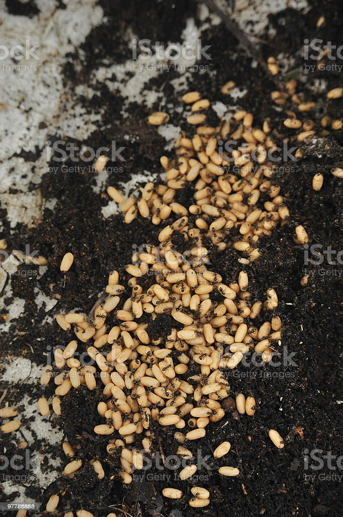 Team of ants with  eggs royalty-free stock photo