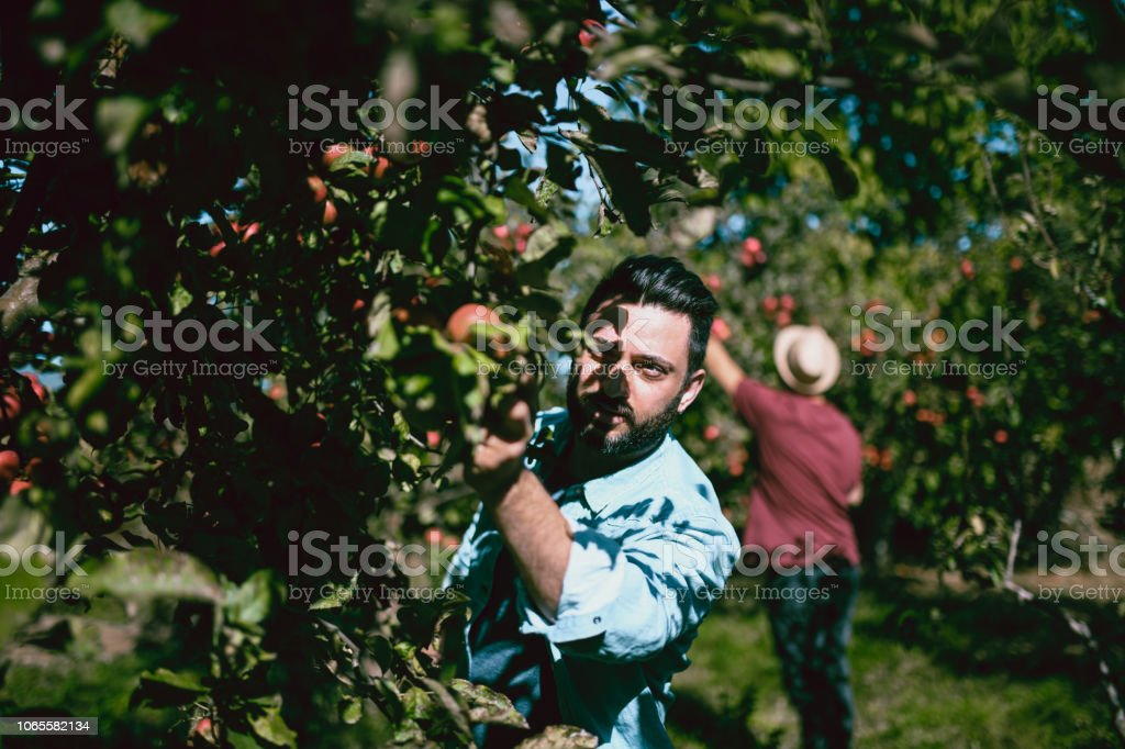 Team Of Apple Pickers stock photo