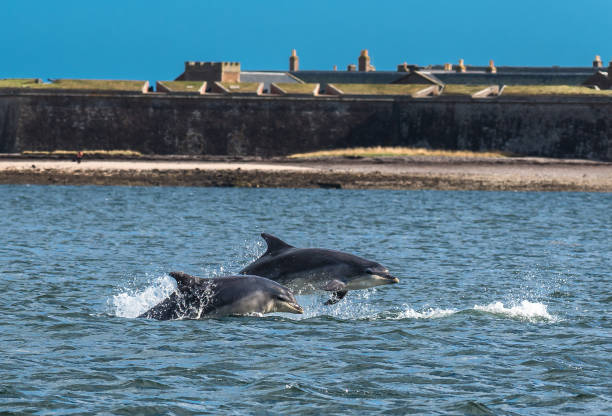 Team Of Bottlenose Dolphin Jumping In The Moray Firth In Front Of Fort George Near Inverness In Scotland Team Of Bottlenose Dolphin Jumping In The Moray Firth In Front Of Fort George Near Inverness In Scotland inverness scotland stock pictures, royalty-free photos & images