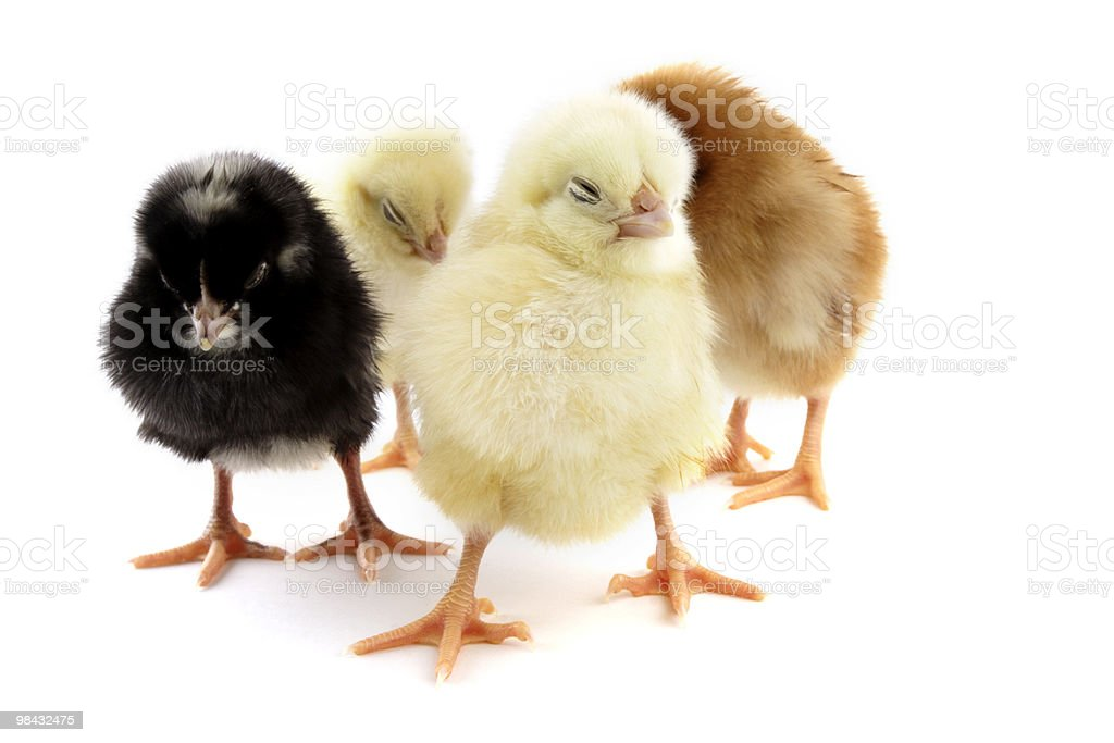 Team of chicken royalty-free stock photo