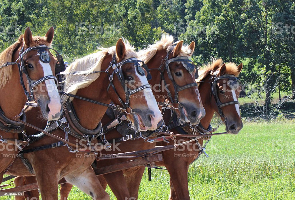 Team of Four Amish Clydesdale Work Horses in Ohio stock photo