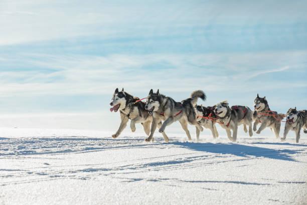 Ein Team von vier husky Schlittenhunde auf einer verschneiten Wildnis-Straße ausgeführt. Rodeln mit husky Hunde im tschechischen Winterlandschaft. Gruppe von Hunden von Hunden in einem Team in Winterlandschaft. – Foto