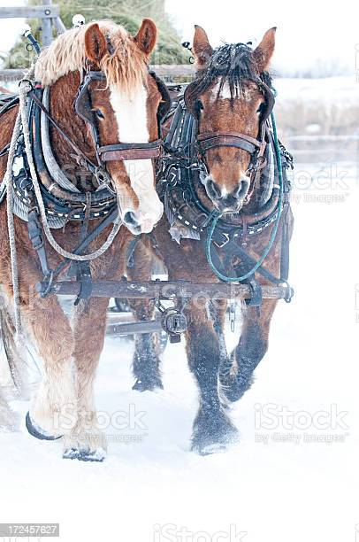Team of horses in fog and snow picture id172457627?b=1&k=6&m=172457627&s=612x612&h=6mgpksch3bmx vfkvn2bf6q4izsjthh0q6qiotzar74=