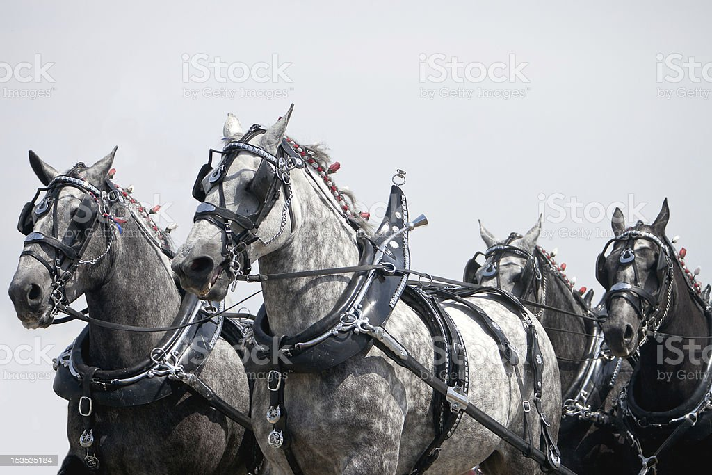 Team of Horses stock photo