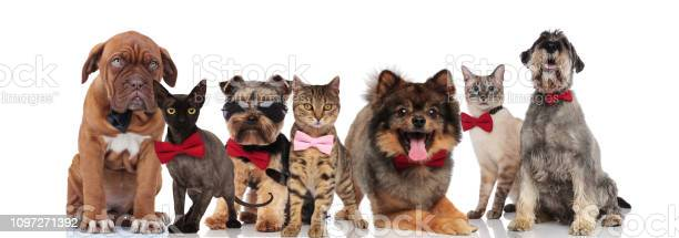 Team of seven adorable pets wearing bowties and sunglasses picture id1097271392?b=1&k=6&m=1097271392&s=612x612&h=3ovywxufdkftolj7ytykdtmh7m44yfinwneks28cfec=