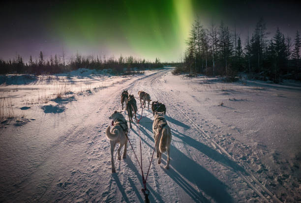 Cтоковое фото A team of six sled dogs running on a snowy road from the perspective of the sled driver. Northern lights in the sky. Northern Canada.