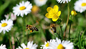two bees flying together in a meadow of white and yellow flowers