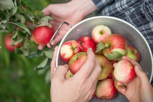 Teamwork - 3 People Picking Apples