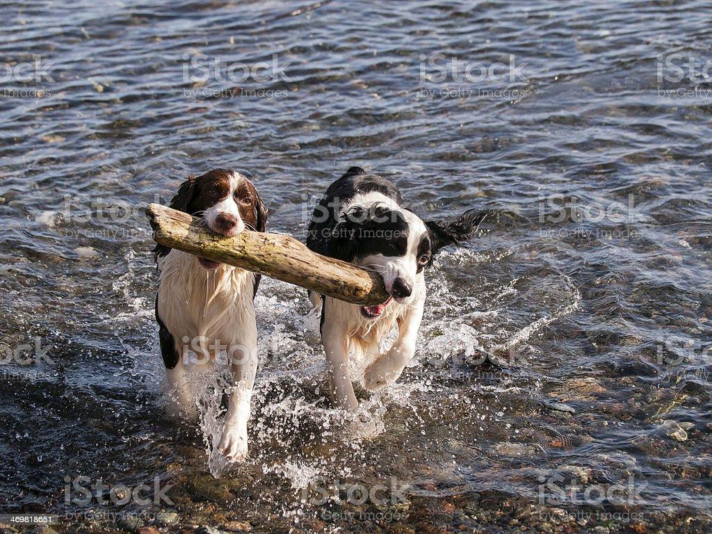Teamwork fetching heavy stick royalty-free stock photo
