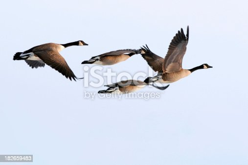 Four Canada Geese fly in formation