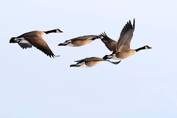 Teamwork Four Canada Geese fly in formation canada goose stock pictures, royalty-free photos & images