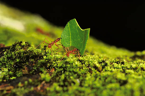 teamwork - ants working together stock photos and pictures