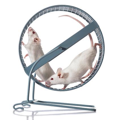 Teamwork; Two White Mice Team Exercising in Running Wheel