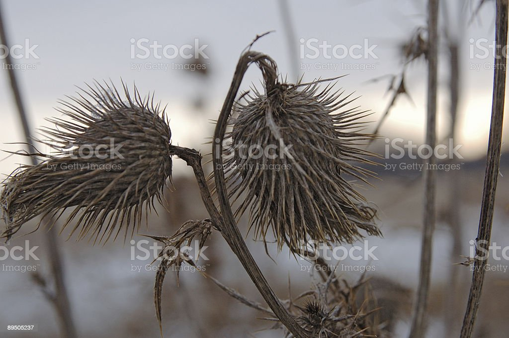 Teasel royalty-free stock photo