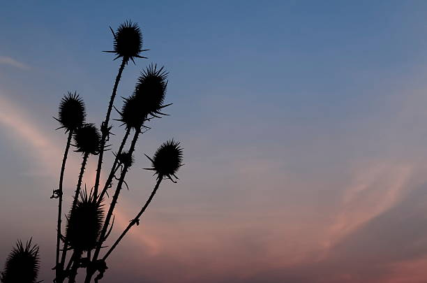 Teasel Silhouette at Sunset Dry Teasel Silhouette at Winter Sunset deleterious stock pictures, royalty-free photos & images