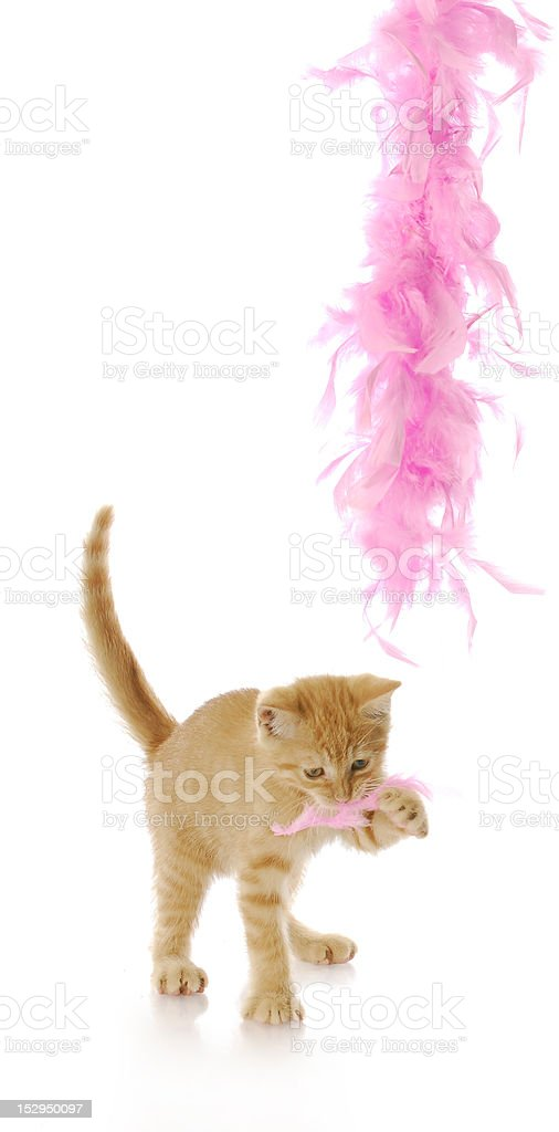 teasing kitten stock photo