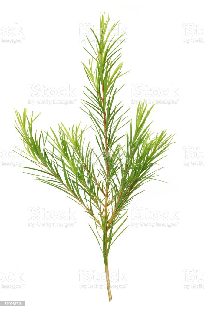 teatree stock photo