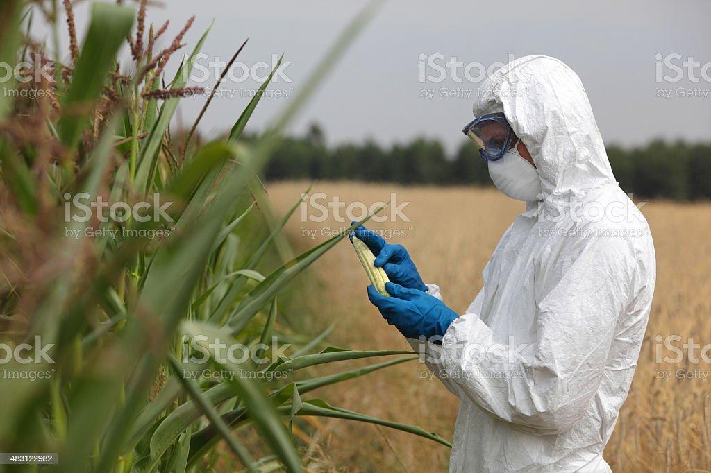 technician examining corn cob on field stock photo