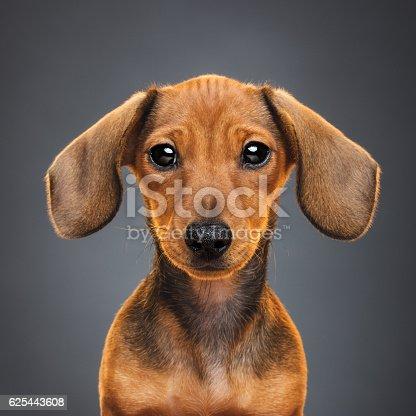 istock Teckel puppy dog portrait 625443608