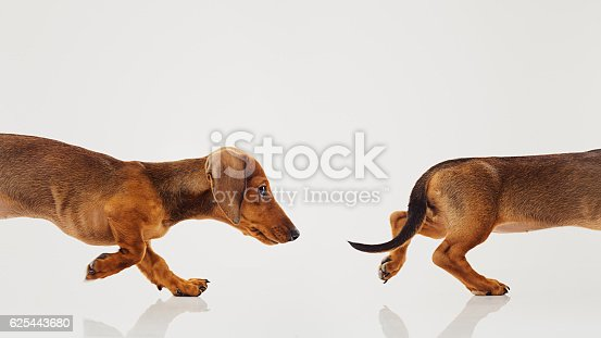 Studio portrait of a beautiful female 3 months old teckel dog running after her tail. Chasing her tail. Horizontal color image from a DSLR. Sharp focus on eyes.