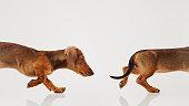 istock Teckel puppy dog portrait 625443680