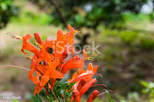 background,beautiful,beauty,bignoniaceae,bloom,bright,cape,capensis,closeup,color,flora,floral,flower,garden,green,honeysuckle,natural,nature,orange,petal,plant,shrub,summer,tecoma,tecomaria,tropical