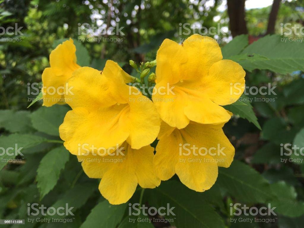 Tecoma stans blomma i natur trädgård - Royaltyfri Blomkorg - Blomdel Bildbanksbilder