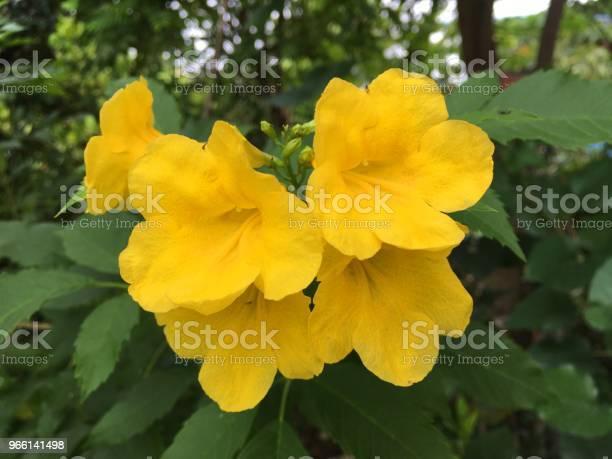 Tecoma Stans Blomma I Natur Trädgård-foton och fler bilder på Blomkorg - Blomdel