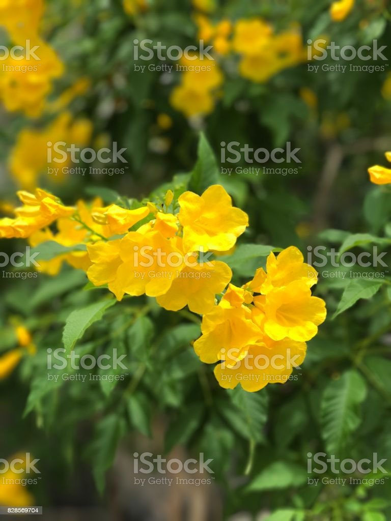 Tecoma Stans Or Yellow Elder Or Yellow Trumpetbush Flower Stock