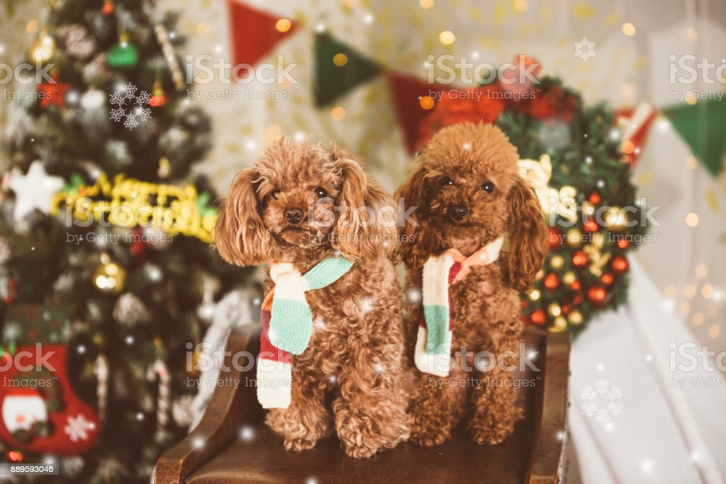 Teddy dog at Christmas background stock photo