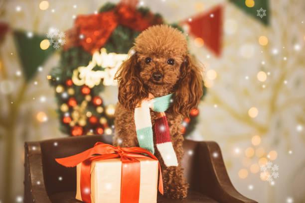 teddy hund an weihnachten hintergrund - schal mit sternen stock-fotos und bilder