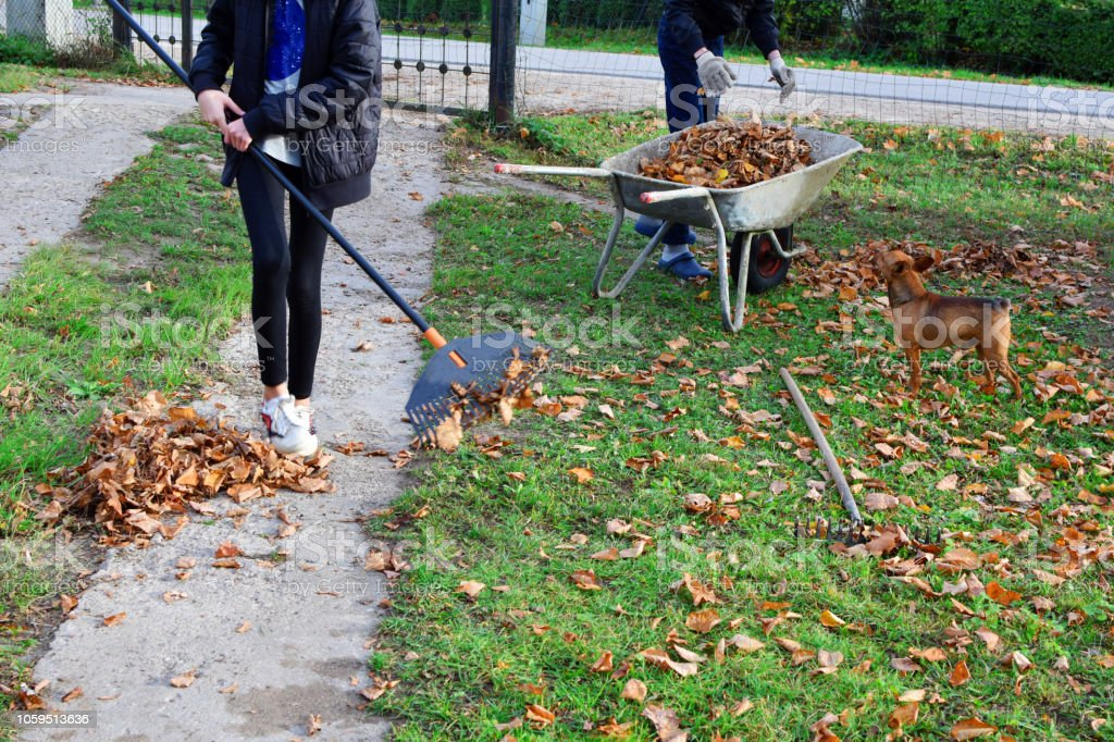 Teen boy and girl raking dry autumn leaves Teen boy and girl raking dry autumn leaves and throw in old metal wheelbarrow on green grass background in autumn day. Children working in seasonal yard cleaning. Activity Stock Photo