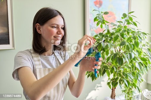 Teen girl cuts houseplant ficus garden secateurs. Cultivation and caring for indoor potted plants. Hobbies and leisure, home gardening, urban jungle, potted friends concept