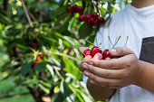 Smiling young teenage girl in her 15-18 years picking cherries in the cherry garden, close-up
