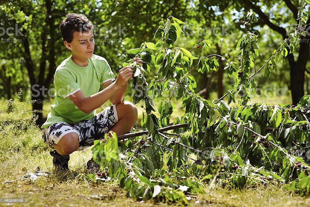 Teenage kid picking cherries stock photo