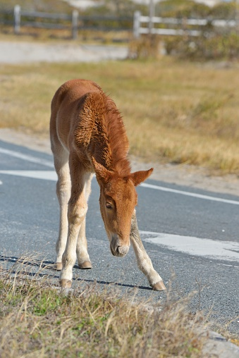 A relatively newborn Assateague Pony foal is teetering as it learns to walk on paved roads in the Assateague Island National Seashore