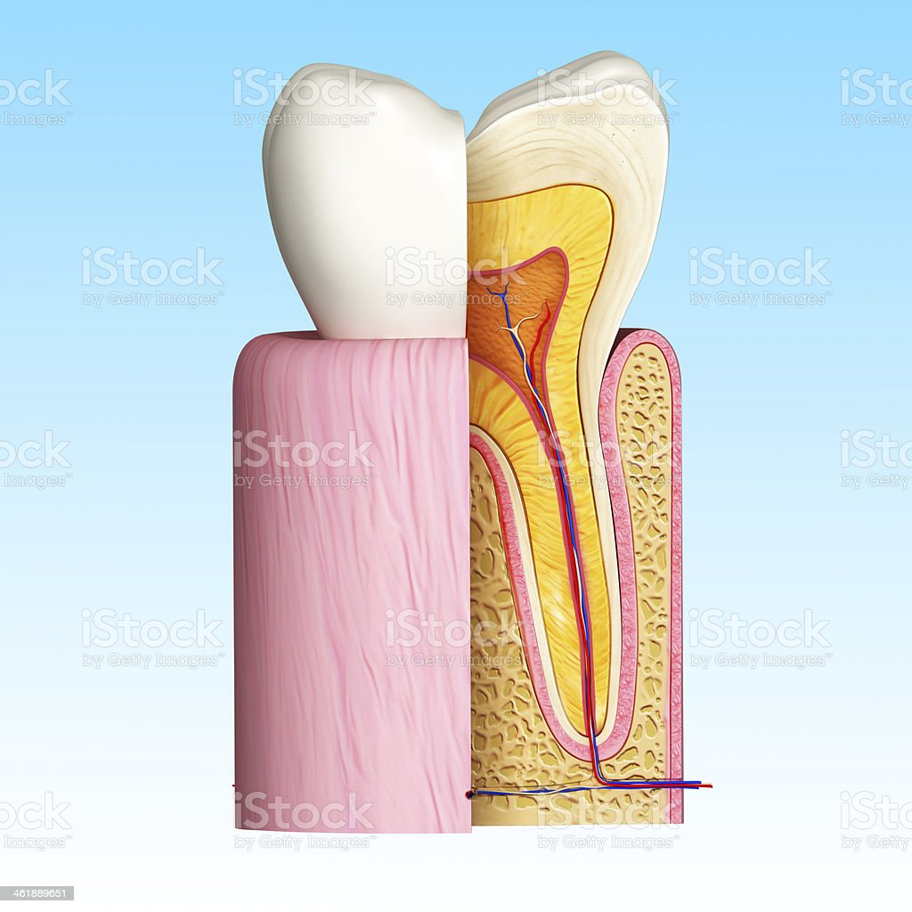 teeth cut section in blue royalty-free stock photo