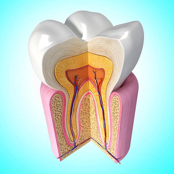 teeth cut section in blue - dentine stockfoto's en -beelden